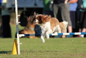 Dogs of all Sizes love agility.