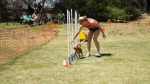 Edgewater Primary School Agility Demonstration 50