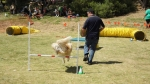 Edgewater Primary School Agility Demonstration 57