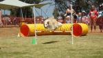 Edgewater Primary School Agility Demonstration - fly