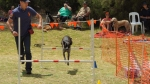 Edgewater Primary School Agility Demonstration - pepper