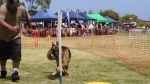 Edgewater Primary School Agility Demonstration - weave