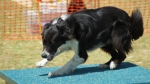 Edgewater Primary School Agility Demonstration 22