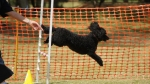 Edgewater Primary School Agility Demonstration 26