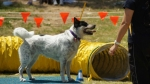 Edgewater Primary School Agility Demonstration 35