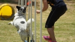 Edgewater Primary School Agility Demonstration 36