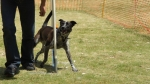 Edgewater Primary School Agility Demonstration 42
