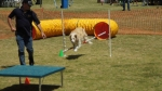 Edgewater Primary School Agility Demonstration 44